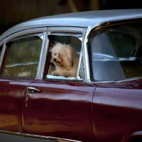 Photo -   In this Nov. 23, 2012 photo, a bichon habanero dog named April Ferher peers from a car window before competing in the Fall Canine Expo in Havana, Cuba. Bichon habaneros are mid-sized dogs that have been bred on the island since the 17th century. Hundreds of people from all over Cuba and several other countries came for the four-day competition to show off their shih tzus, beagles, schnauzers and cocker spaniels that are the annual Fall Canine Expo's star attractions. (AP Photo/Ramon Espinosa)