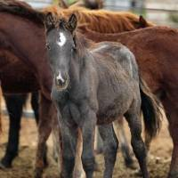 Photo - A mustang weanling at the Pauls Valley adoption center.  STEVE SISNEY