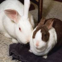 Photo - Two of Ralph Doty's rabbits, L-R Blossom and Ben