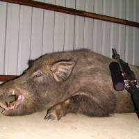 Photo - This feral hog weighing 558 pounds was killed last month by Sulphur firefighter Landon Wood on a hunt at the Pennington Creek Hunting Club ranch near Mill Creek.ORG XMIT: 0908072317562084