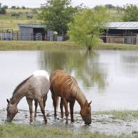 Photo - Horses graze near floodwaters in a yard off of Ganzer Road West in Krum, Texas on Thursday, July 17, 2014 after heavy rains in the area. (AP Photo/Fort Worth Star-Telegram, Paul Moseley)