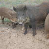 Photo - A file photo shows these wild pigs that were caught near Leedey.  PHOTO PROVIDED BY THE OKLAHOMA DEPARTMENT OF AGRICULTURE, FOOD AND FORESTRY     ORG XMIT: 1110010049055499  PROVIDED