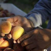 Photo - In this photo taken on Friday, June 7, 2013, farmer David Mas Masumoto inspects just-harvested peaches in his orchard in Del Rey, Calif. The Masumotos, a fourth generation farming family, have seen the disappearance of family farms swallowed by giant agribusinesses, the turn toward organics, and the resurgence of small farm culture. (AP Photo/Gosia Wozniacka)