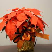Photo - Orange Spice poinsettias like this one were sold at this year's OSU-OKC poinsettia sale. PHOTO PROVIDED