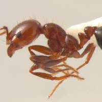 Photo - Fire ant ORG XMIT: 0806041550581768