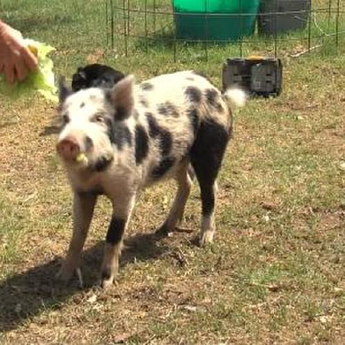 Gruntso the pig gets a bite of food at his home in Walters. At least, his home for now. (7NEWS)