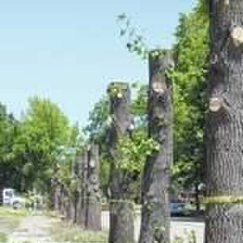 City crews were forced to cut and remove trees in an area of Durant because the roots were damaging sidewalks. (Durant Daily Democrat photo)