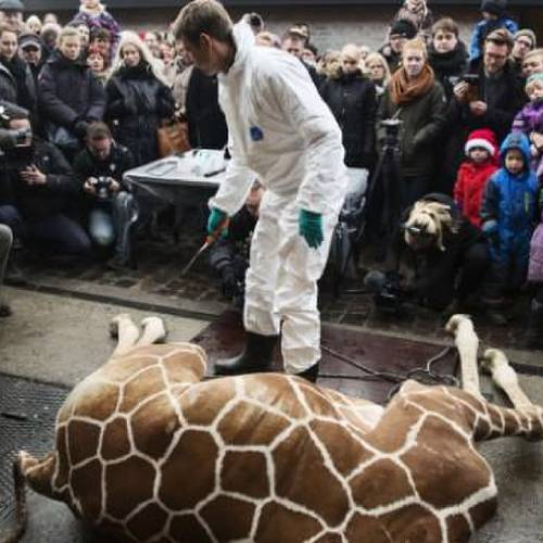 A perfectly healthy young giraffe named Marius was shot dead at Copenhagen zoo on Febuary 9, 2014 despite an online petition to save it signed by thousands of animal lovers. Marius, an 18-month-old giraffe, was put down with a bolt gun early on Sunday, zoo spokesman Tobias Stenbaek Bro confirmed. AFP PHOTO / SCANPIX DENMARK / KASPER PALSNOV +++ DENMARK OUT +++KASPER PALSNOV/AFP/Getty Images