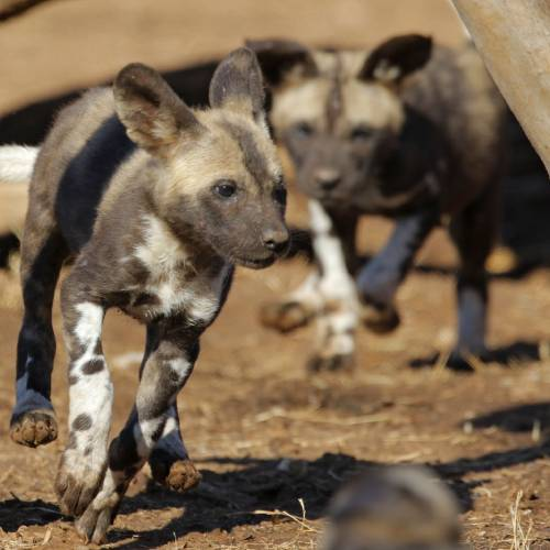 Litter of 14 African painted dog pups happy, healthy at OKC Zoo