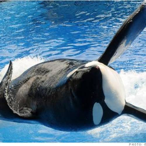 """ORLANDO, FL - MARCH 30: Killer whale """"Tilikum"""" appears during its performance in its show """"Believe"""" at Sea World on March 30, 2011 in Orlando, Florida. """"Tilikum"""" is back to public performance March 30, the first time since the six-ton whale has performed since killing trainer 40-year-old trainer Dawn Brancheau at the marine park on February 24 2010, after Sea World Parks & Entertainment president Jim Atchinson signed off on the decision this week. (Photo by Gerardo Mora/Getty Images)"""