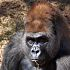 Bom Bom, a silverback gorilla, died Monday at the Oklahoma City Zoo of a ruptured aneurism in his heart. He was 36. PHOTO PROVIDED BY THE OKLAHOMA CITY ZOO