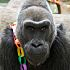 Gorilla Birthday