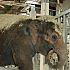 OKC Zoo Elephant Calf