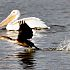 Zoo Lake White Pelicans