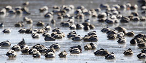 Photo - Hundreds of waterfowl gather on the frozen Oklahoma City Zoo lake, Monday January 6, 2014. Over 10 species of waterfowl were spotted on the lake Monday afternoon. Photo By Steve Gooch, The Oklahoman