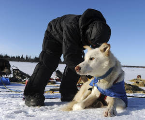 Photo - Mitch Seavey works with his dog team after he arrived at the White Mountain checkpoint during the Iditarod Trail Sled Dog Race on Monday, March 10, 2014, in White Mountain, Alaska. (AP Photo/The Anchorage Daily News, Bob Hallinen)