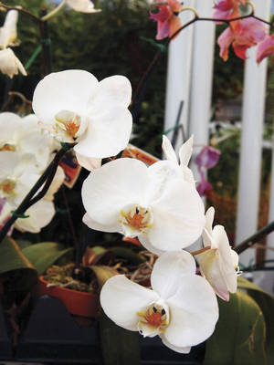 "Photo -  A good beginning and long-lasting orchid is the Phalaenopsis. ""Phals,"" also called ""moth orchids"" are readily available, will hold their blooms, sometimes for months, and will often re-bloom on the same spike. Getty Images  <strong>Medioimages/Photodisc -  Getty Images </strong>"