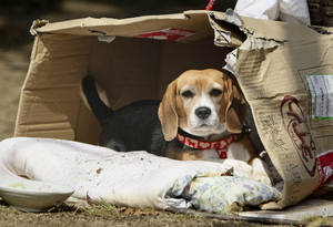 Photo - Luna, a beagle, sits in her makeshift home at an evacuee center in Fukushima, Japan. As Japan struggles to deal with its disaster, aid groups are beginning to bring food for tens of thousands of pets left isolated and starving in the  devastated areas. AP PHOTOS