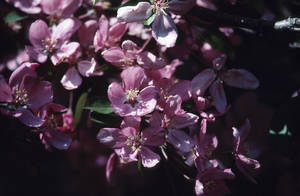 Photo -  Crabapple blossoms   <strong>Hemera Technologies -  Getty Images </strong>