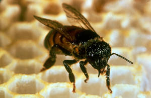 Photo - A closeup is shown of an Africanized honey bee. AP File Photo