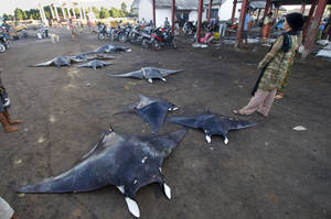 Photo - In this Feb. 20, 2014 photo released by WildAid and Conservation International, a villager stands by manta rays laid on the ground to dry near a market in Tanjung Luar, Indonesia. Indonesia is now the world's largest sanctuary for manta rays, after officials were persuaded by evidence that the gentle giants known for delighting tourists are worth more alive than dead. The government on Friday, Feb. 21, 2014 announced that manta rays within the archipelago's 5.8 million square kilometers (2.2 million square miles) of ocean will be protected from fishing and export. It will take time and cooperation at multiple levels to enforce the ban on poaching in the biggest global shark and ray fishery. (AP Photo/WildAid and Conservation International, Shawn Heinrichs)