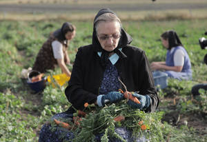 """Photo -   This undated image released by National Geographic Channels shows Hutterite Judy Hofer picking carrots from the garden in King Colony, Mont. """"Meet the Hutterites,"""" a National Geographic documentary series about a small religious colony in rural Montana. (AP Photo/National Georgraphic, Ben Shank)"""