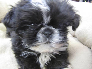 Photo - This shih tzu puppy that was stolen Dec. 17 from a Noble kennel has been recovered, Cleveland County sheriff's deputies report. PHOTO PROVIDED