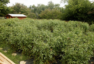 Photo - Kamala Gamble's Guilford Gardens is a haven for tomato plants. <strong>DOUG HOKE - THE OKLAHOMAN</strong>