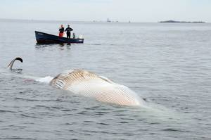 photo -   In this photo provided by the New England Aquarium, boaters watch as a dead 30-foot finback whale floats in the Boston Harbor, near Deer Island, Sunday, Oct. 7, 2012. Authorities don't know the cause of death. Coast Guard Petty Officer Robert Simpson says the whale was spotted early Sunday. Simpson says the Coast Guard took a team from the New England Aquarium to examine the whale and take samples. (AP Photo/The New England Aquarium)