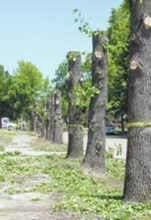 Photo - City crews were forced to cut and remove trees in an area of Durant because the roots were damaging sidewalks. (Durant Daily Democrat photo)