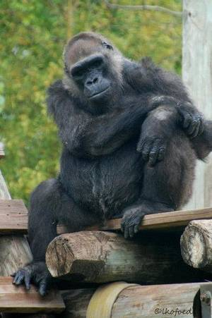 Photo - kathy, an Oklahoma City Zoo gorilla that died Tuesday. <strong></strong>