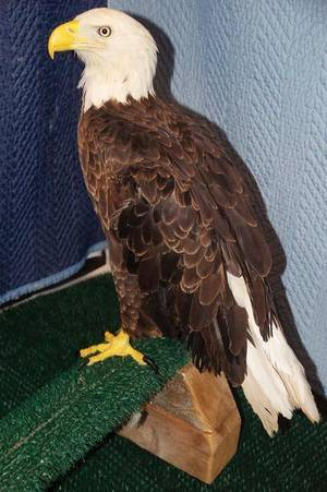 Photo - Nash, the bald eagle, at his new home. (Enid News & Eagle photo)