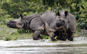 Photo -   FILE- In this July 21, 2012 file photo, one-horned Rhinoceros wade through floodwaters at Pobitora wildlife sanctuary in the northeastern Indian state of Assam. Indian veterinarians are struggling to save the life of a rare rhinoceros that was shot and had its horn cut off after it wandered out of a flooded national park. The wounding of the one-horned rhino by poachers early Wednesday, Sept. 26, sparked outrage in Assam. An estimated 2,500 out of the world's 3,000 one-horned rhinos live in the park.(AP Photo/Anupam Nath, File)