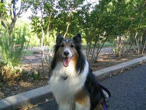 "photo - The Siglers are grateful for their ""ball of energy"" sheltie, Casey.  Photo provided"