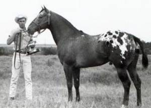 Photo - Navajo Britches won hundreds of awards through the years and was inducted into the Appaloosa Hall of Fame.