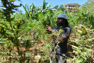 Photo - In this Aug. 29, 2013 photo, farmer nicknamed Breezy shows his illegal patch of budding marijuana plants during a tour of his land in Jamaica's central mountain town of Nine Mile. Breezy says Americans, Germans and increasingly Russian tourists have toured his small farm and sampled his crop. (AP Photo/David McFadden)