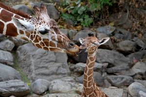 photo -   In this Sept. 23, 2012 photo provided by Utah's Hogle Zoo, mother giraffe Kipenzi licks her baby girl shortly after birth. The new baby giraffe and her mother went on display at Utah's Hogle Zoo for the first time on Oct. 3, 2012. (AP Photo/Utah's Hogle Zoo)