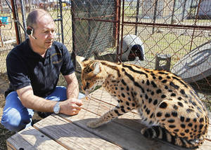 Photo - Martin Stucki, owner of A1 Savannahs in Ponca City, feeds a serval. Photo by David McDaniel, The Oklahoman