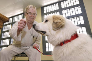 Photo - In this photo taken Wednesday, June19, 2013, at Arkansas Department of Correction Ouachita River Unit  in Malvern, Ark., inmate Norman Voigt offers a treat to Napoleon, a great Pyrenees, during a dog training class in the Paws in Prison program at the prison. (AP Photo/Danny Johnston)
