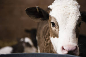 Photo - Photo of a calf by Thinkstock