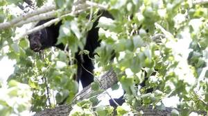 Photo - A black bear stuck in a tree on May 22, 2014. MIKE SIMONS/Tulsa World