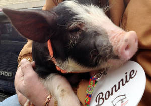 photo - Bonnie, a Berkshire breed pig about 2 1/2 months old, waits for Iowa Gov. Terry Branstad to pardon her outside the governor's mansion Friday, Feb. 8, 2013 in Des Moines, Iowa. The pardon is a first for the governor and a celebration of the annual Blue Ribbon Bacon Festival that begins this weekend at the Iowa State Fairgrounds. (AP Photo/Barbara Rodriguez)