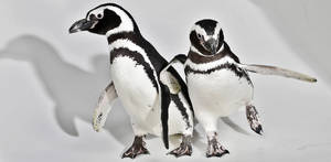 photo - Magellanic Penguins Penny and Pete roam the studio on a visit to the OPUBCO office from SeaWorld on Thursday, Feb. 21, 2013, in Oklahoma City, Okla. Photo by Chris Landsberger, The Oklahoman