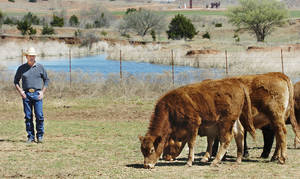 photo - Mooreland, Oklahoma, Tuesday, 3/30/04. John Stine had some cattle stolen and recovered and is having to have some of them DNA tested. The calf on the left was recovered young enough to go back with its mother, behind it, and was the proof of the theft.      Staff photo by David McDaniel.