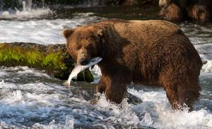Photo -   In this photo taken July 17, 2012 and provided by explore.org, a brown bear catches a salmon at Brooks Falls, Katmai National Park in Alaska. A new video initiative will bring the famed brown bears of the park directly to your computer or smartphone. In a partnership with explore.org, a live webstream will be unveiled Tuesday that will allow the public to log on and see the brown bears in their natural habitat, including views of the bears catching salmon at Brooks Falls. (AP Photo/explore.org, Tahitia Hicks)