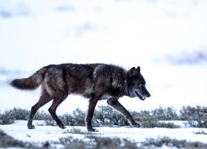 "Photo - This 2013 photo provided by Horsefeathers Photography shows a black wolf wearing a VHF radio collar that identifies it as Wolf  ""831F,"" a member of the Yellowstone National Park 's Canyon pack, in Swan Lake, Mont. Big game outfitter William Hoppe shot and killed this female wolf near where 13 sheep were killed in April. Leaders of a wolf advocacy group said Hoppe is intentionally luring the animals by leaving dead sheep carcasses in a pile. (AP Photo/Horsefeathers Photography, Brad Orsted)"