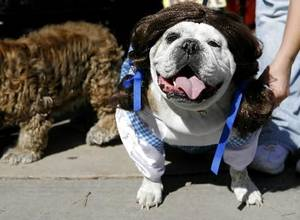 photo - Bacardi, an English bulldog, has her Dorothy outfit adjusted by her owner Holly Lassetter, of Norman, during an event at Campus Corner in Norman on Sunday, October 26, 2008. By John Clanton, The Oklahoman
