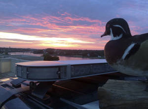 "Photo - In this July 6, 2014, photo released by the Bangor Police Department, the department's stuffed ""duck of justice"" greets the sunrise from atop a police cruiser in Bangor, Maine. The mascot, a wood duck that had been stuffed by a taxidermist and rescued from a trash compactor, has attracted more than 20,000 likes on its departmental Facebook page, and is being used as a new way of engaging with the public. (AP Photo/Bangor Police Department)"