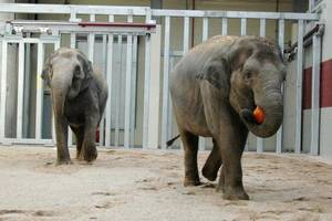 photo - Asha, left, and Chandra are shown in the community stall inside the at the Oklahoma City Zoo. A new, 24-hour camera on NewsOK.com will show the community stall 24 hours a day. <strong>Jennifer D'Agostino - PHOTO PROVIDED BY THE OKLAHOMA C</strong>