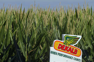 Photo - FILE - In this Dunday, July 22, 2012 file photo, a DEKALB corn logo stands along side rows of corn in Ashland, Ill.  DEKALB is one of Monsanto's leading North American brands. Monsanto reported better-than-expected first quarter earnings Wednesday, Jan. 8, 2014 on higher sales of the company's insect-repelling and herbicide-resistant soybean seeds in Latin America. (AP Photo/Seth Perlman, File)